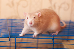 Portrait of ginger rat Stock Photography