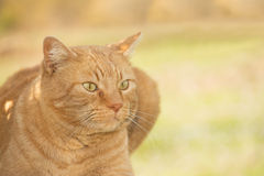 Portrait of a ginger tabby cat Royalty Free Stock Photography