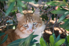 Portrait of  ginger and white tabby cat among the bushes Royalty Free Stock Images
