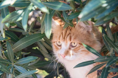 Portrait of  ginger and white tabby cat among the bushes Royalty Free Stock Image