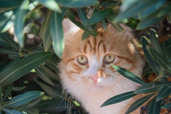 Portrait of  ginger and white tabby cat among the bushes Royalty Free Stock Photography