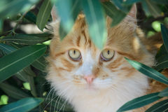 Portrait of  ginger and white tabby cat among the bushes Stock Image