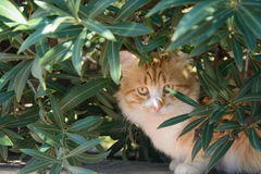 Portrait of  ginger and white tabby cat among the bushes Stock Photos