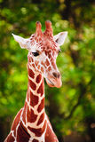 Portrait of Giraffe stock images