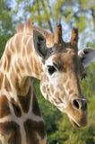 Portrait of giraffe Royalty Free Stock Photography