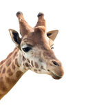 Portrait of a giraffe Stock Image