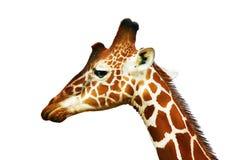 Portrait of giraffe Royalty Free Stock Photo