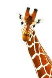 Portrait of giraffe Stock Photography