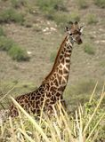 Portrait of giraffe. Stock Images