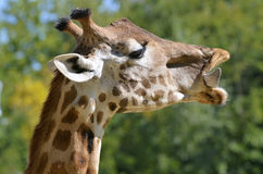 Portrait of giraffe Royalty Free Stock Photos