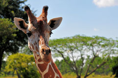 Portrait of a Giraffe. Reticulated Giraffe photographed in a South Florida zoo Stock Photos