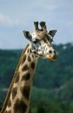 Portrait of a giraffe. This giraffe has made a pause in feeding and a little on posed in front of the camera Stock Photos