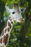 Portrait of a giraffe. A close up photo portrait of a giraffe stock image