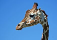 Portrait of A Giraffe. With blue sky stock images
