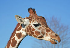 Portrait of A Giraffe. With blue sky background Royalty Free Stock Image