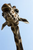 Portrait of giraffe Royalty Free Stock Photography