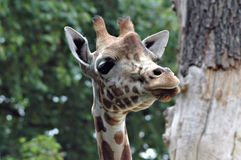 Portrait of giraffe. Outdoors with trees in background Stock Photos