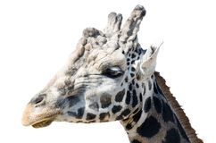 Portrait of a giraffe Royalty Free Stock Photography