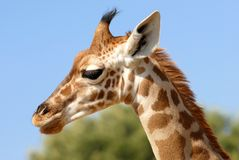 Portrait of giraffe Royalty Free Stock Image