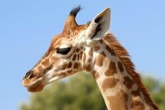 Portrait of giraffe Royalty Free Stock Image