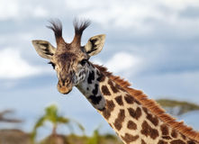 Portrait of a giraffe in the African savannah. Serengeti National Park of Tanzania Stock Photos