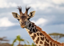 Portrait of a giraffe in the African savannah Royalty Free Stock Photo