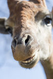 Portrait of a giraffe against the blue sky Stock Photography