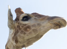 Portrait of a giraffe against the blue sky Stock Photo