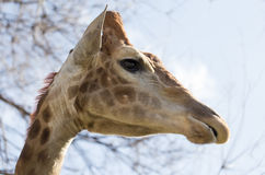 Portrait of a giraffe against the blue sky Royalty Free Stock Photography
