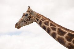 Portrait of a giraffe . The animal looks directly into the camer. The animal looks as if it were laughing . Laughing Giraffe. In the background of the sky with Stock Photo