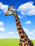 Portrait of a giraffe. In the background blue sky Stock Photo