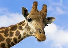 Portrait of a giraffe on the background of blue sky. Royalty Free Stock Photo