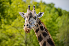 Portrait of a giraffe Royalty Free Stock Images