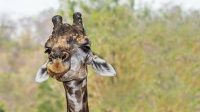 Portrait of a giraffe on clear background Royalty Free Stock Images