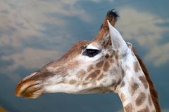 Portrait Giraffe close up over blue sky. In Zoo Stock Photo