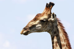 Portrait of Giraffe Stock Photos