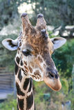 Portrait of a Giraffe Stock Images