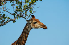 Portrait of a Giraffe (Giraffa campelopardalis) Royalty Free Stock Photos