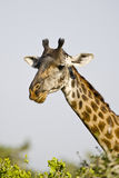 Portrait of a giraffe Giraffa, Tanzania. Close up shot of giraffe head, Serengeti National Park, Tanzania royalty free stock photo