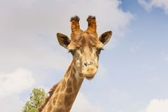 Portrait of a giraffe-head on a long neck. Against the sky Stock Image