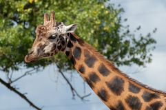 Portrait of a giraffe head and neck. royalty free stock photo