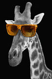 Portrait of a giraffe with hipster sunglasses Stock Image