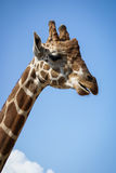 Portrait of a Giraffe Royalty Free Stock Photos