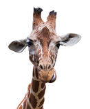Portrait of a giraffe isolated Stock Photo