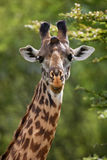 Portrait of a giraffe. Kenya. Tanzania. East Africa. An excellent illustration Stock Images