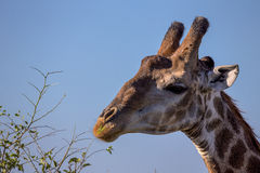 Portrait of a Giraffe in Kruger National Park Stock Image