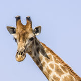 Portrait of giraffe in Kruger Park, South Africa Royalty Free Stock Photography