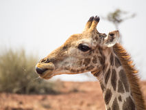 Portrait of a giraffe licking its lips. With saliva flying through the air. Photo taken in the Palmwag Conservancy in Namibia Royalty Free Stock Image