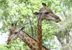 Portrait of a giraffe with long neck and funny head stock photo