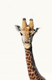 Portrait of giraffe over white background Royalty Free Stock Photography